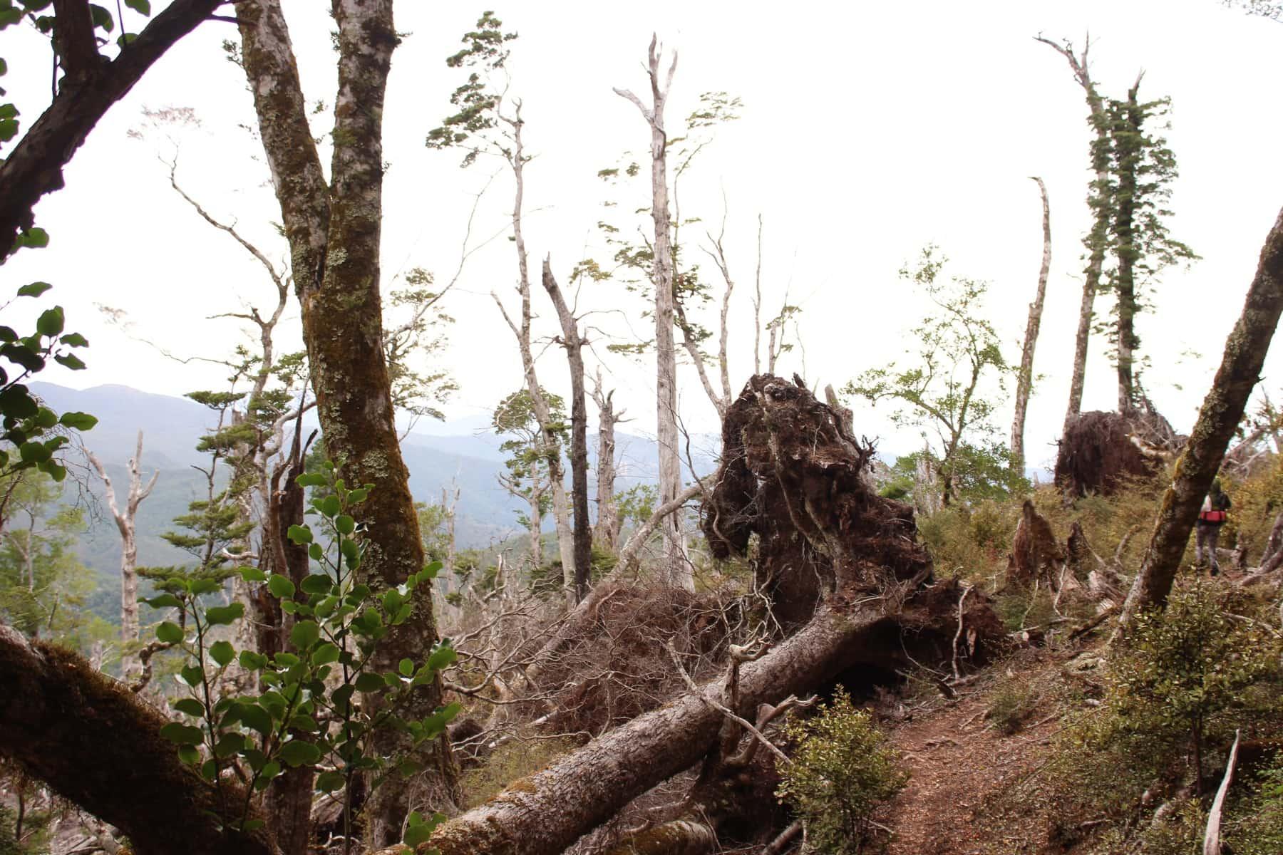 Baum Te Araroa Neuseeland