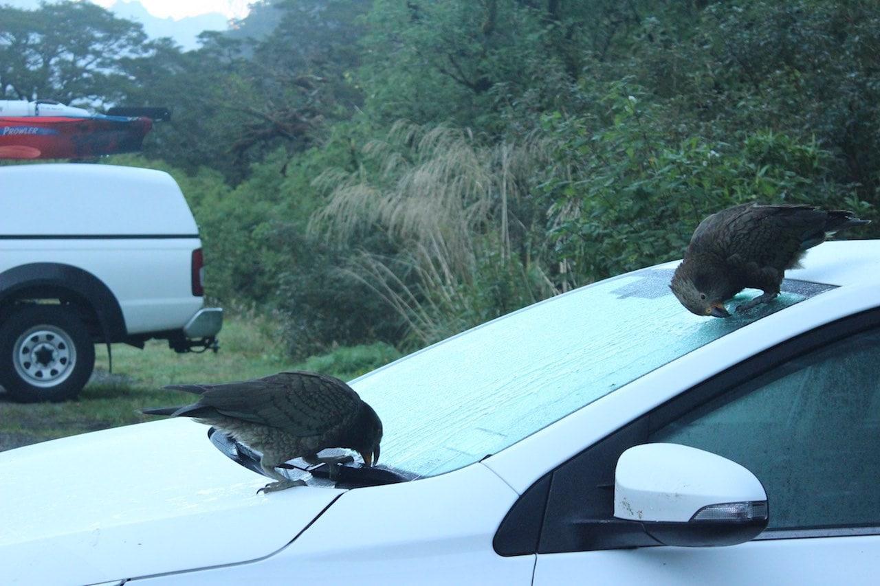Must Do Neuseeland Kea-Sichtung