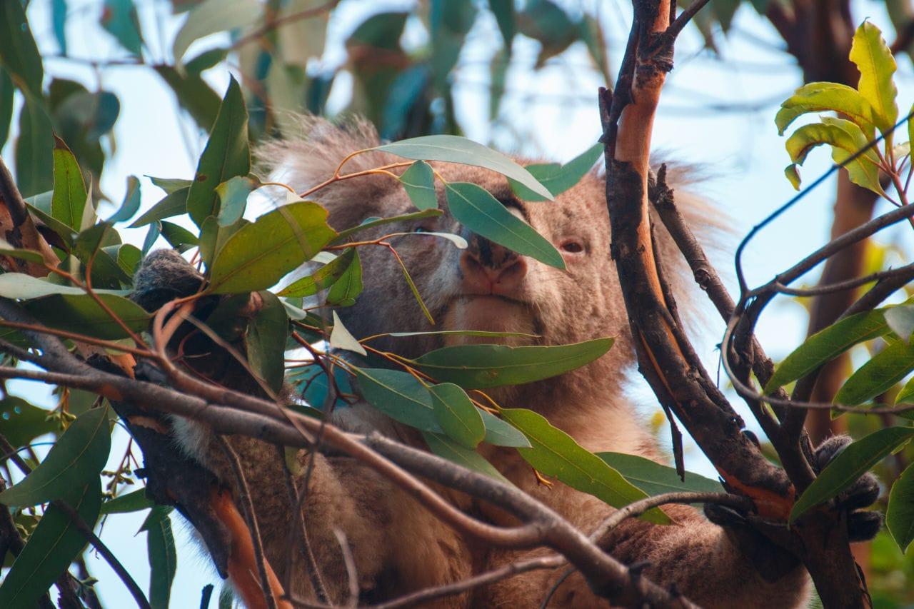 Koala Route Victoria Australien