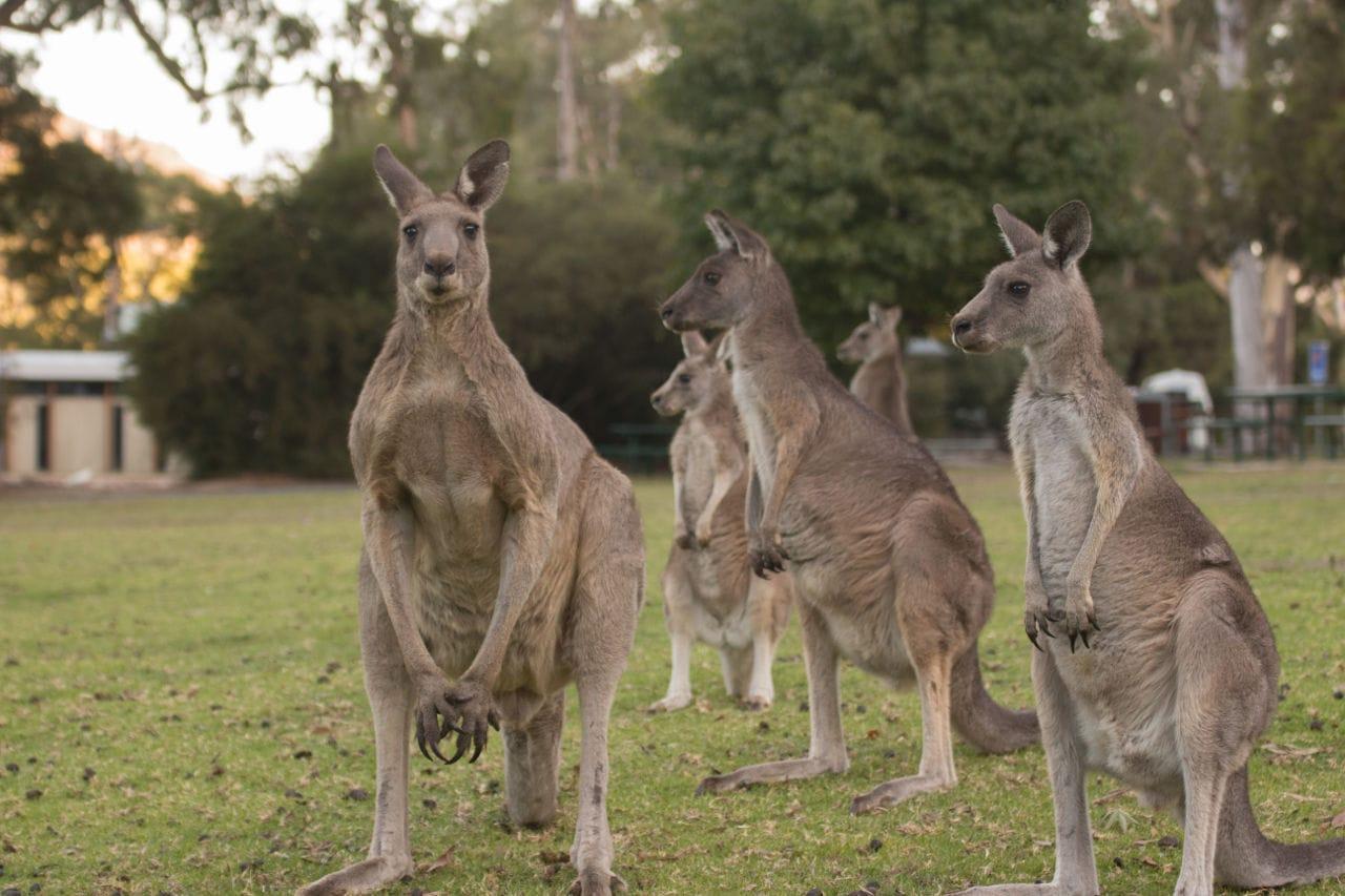 Känguru Route Victoria Australien