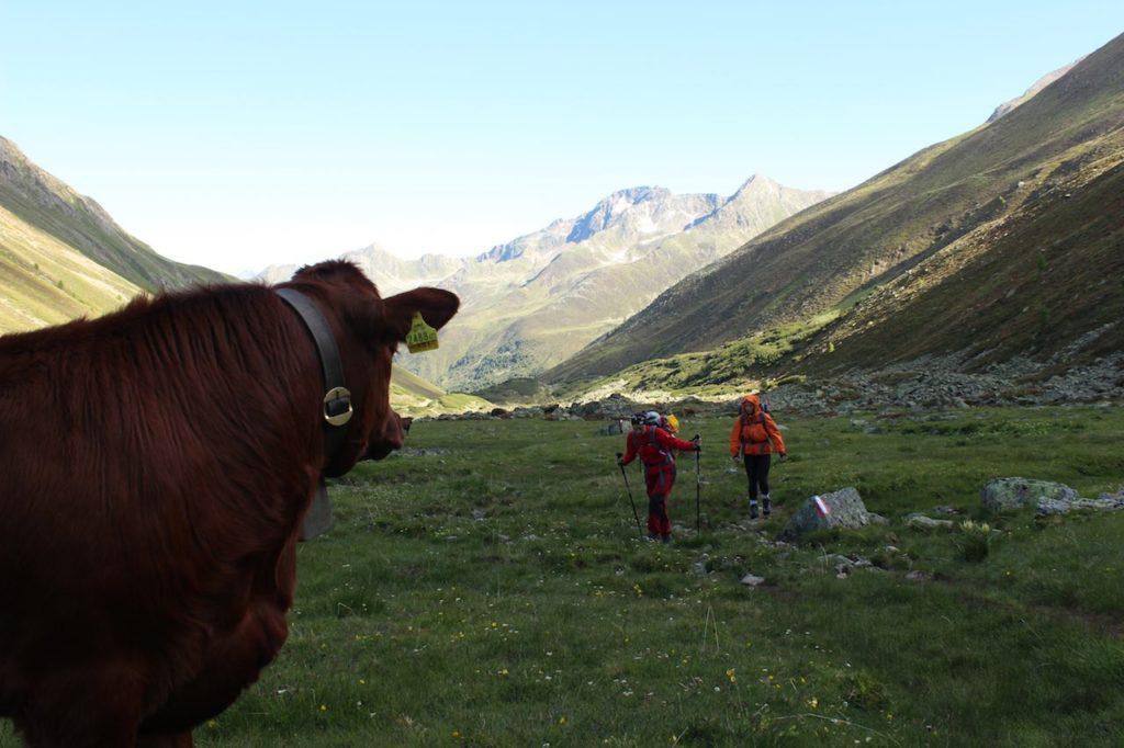 Kühe Alpenüberquerung L1