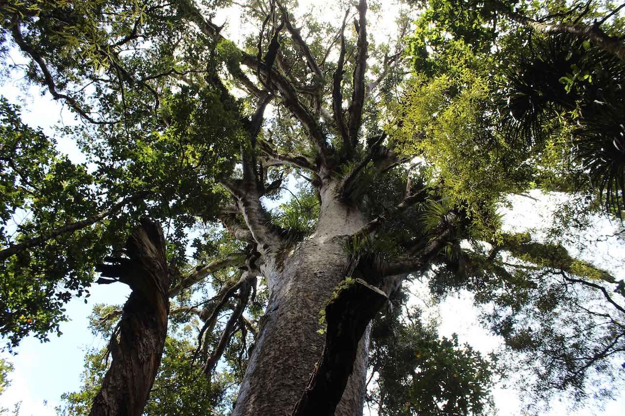 Fotospots Neuseeland Kauri Bäume