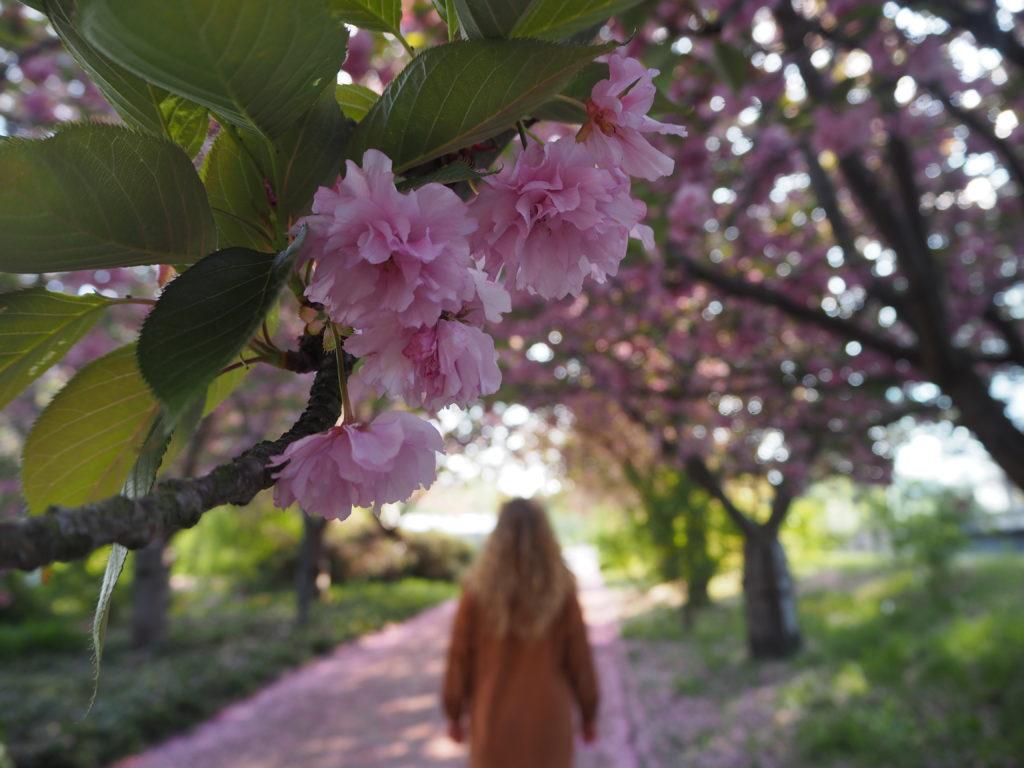 Spaziergang unter Kirschblüten